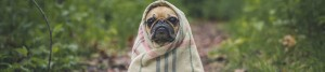 Scared and alone pug after WordPress website was hacked.