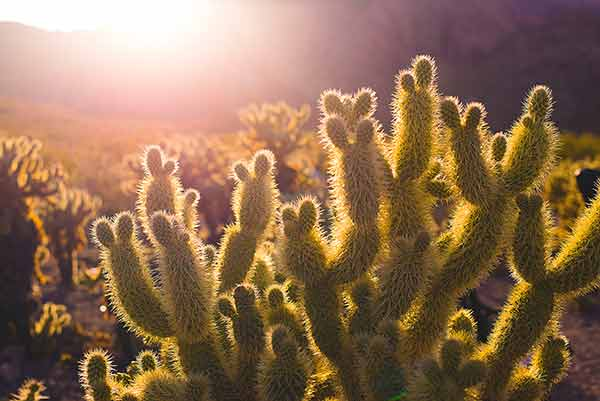 Jumping Cholla aka Teddy Bear Cactus. Thousands of needles in the sunset.