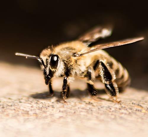 A Single Lady Bee